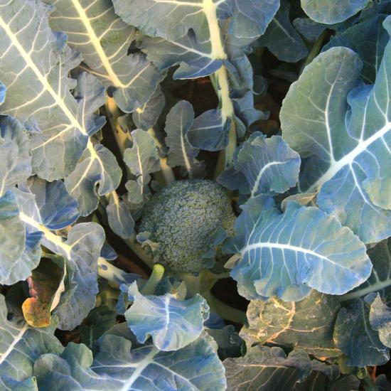 Broccoli Growing
