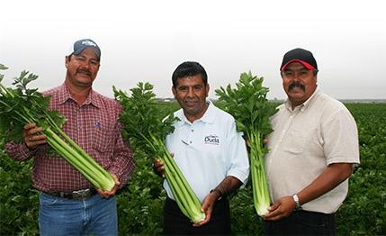 three workers in a celery field