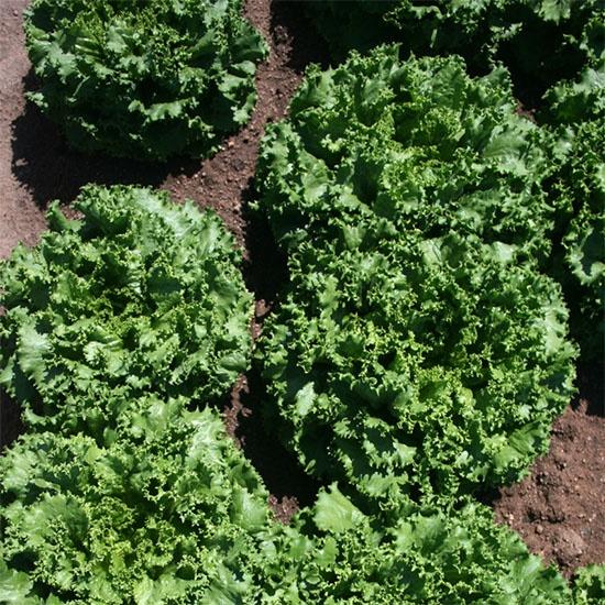 lettuce growing in a field