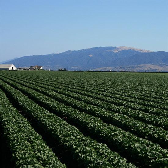 romaine lettuce field