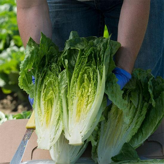 worker holding romaine lettuce