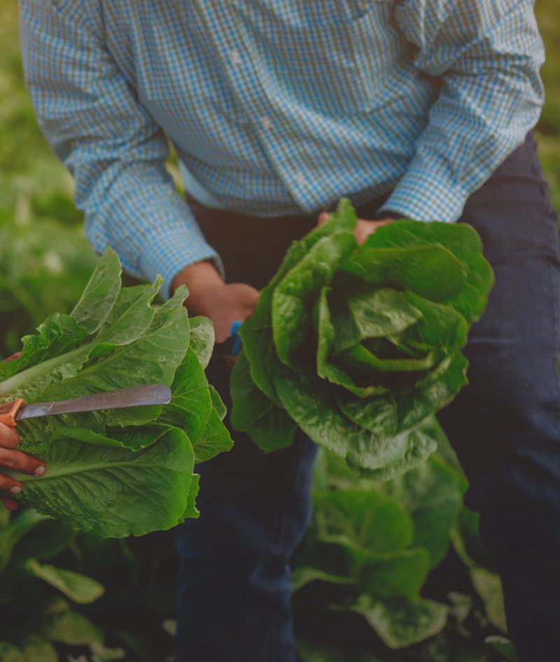in the fields holding lettuce