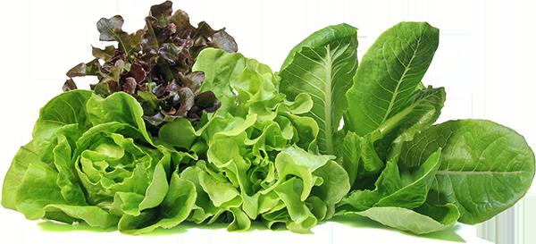 different varieties of lettuce